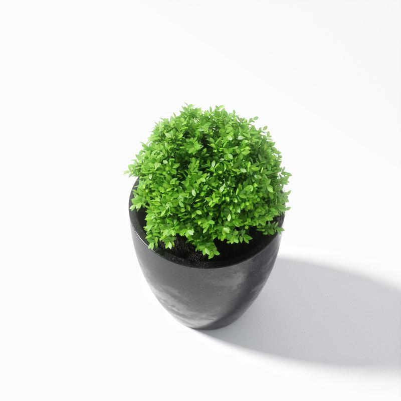Boxwood plant 3D model