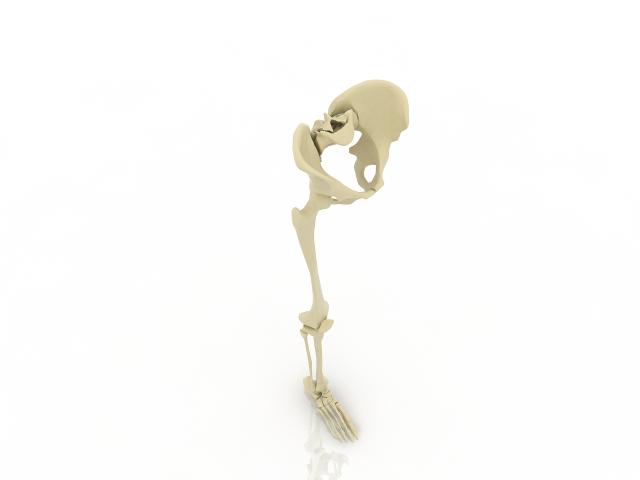 Leg bone 3D model