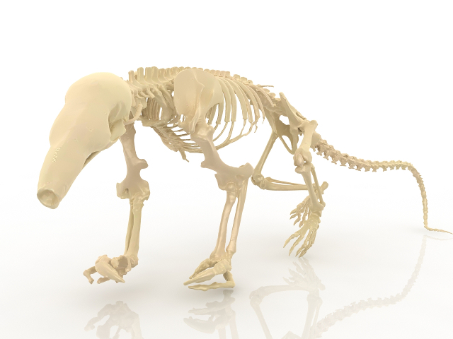 Skeleton of a dinosaur 3D model