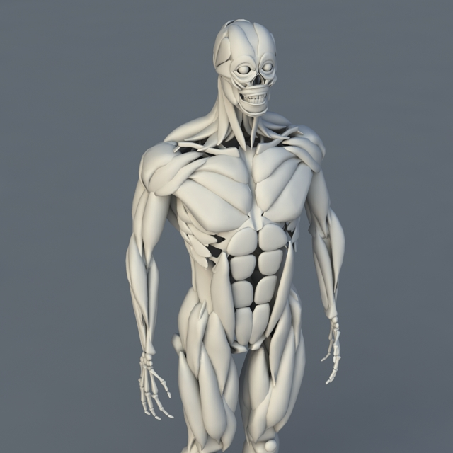Human Body Bones and Muscles 3d model