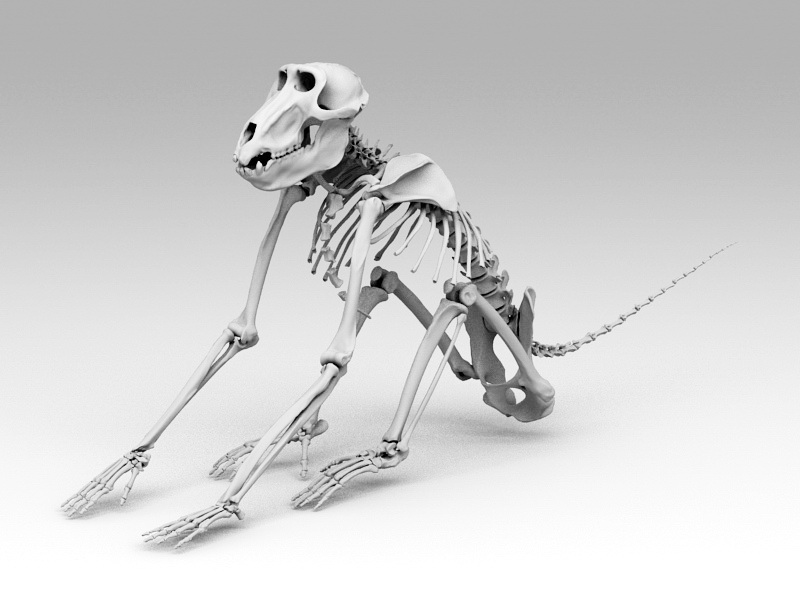 Baboon Skeleton 3D model