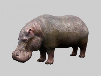 Fat Hippopotamus