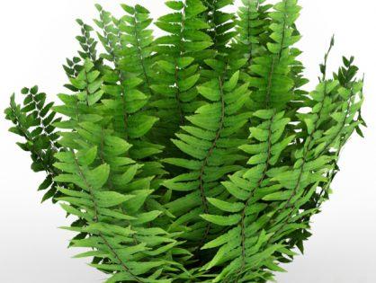Fern bush